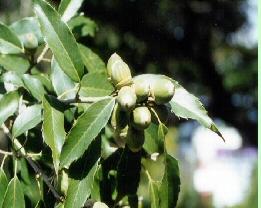 몸안의 결석 녹이는 참가시나무
