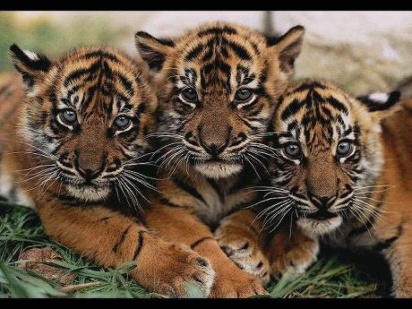 收集可爱的老虎图片中〉〉〉〉〉〉〉〉