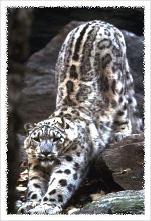 雪豹的分布和栖息地