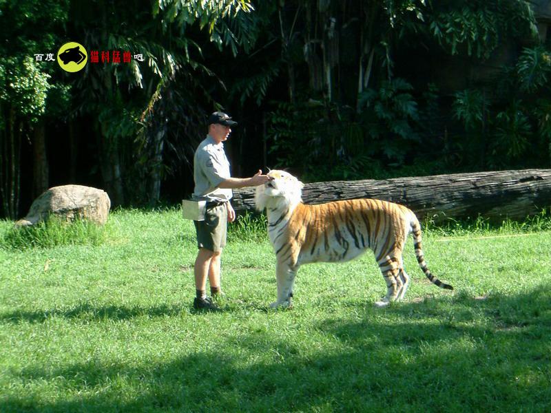 【】动物园里的大明星--珍贵的雪虎